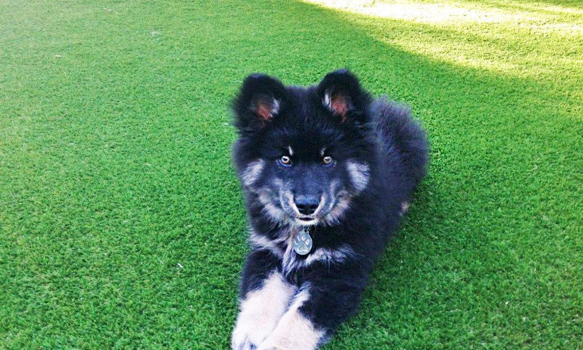 dog on pet-friendly artificial grass